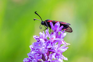 Six spot burnet moth (Zygaena filpendulae) on Common spotted orchid (Dactylorhiza fuchsii), Monmouthshire, Wales, UK, June.  -  Phil Savoie