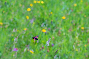 Six spot burnet moth (Zygaena filipendulae) in flight over grass meadow with flowering  Black knapweed (Centaurea nigra), Cats ear (Hypochaens radicata), Common spotted Orchid (Dactylorhiza fuchsii) f...  -  Phil Savoie