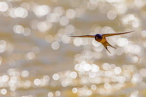 American barn swallow (Hirundo rustica erythrogaster) in flight catching insects over the Gallatin River, Yellowstone National Park, Montana, August.  -  Phil Savoie