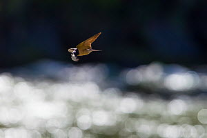 Cliff swallow (Petrochelidon pyrrhonota) carrying nesting material, a feather, to the Gallatin River, Montana, USA, July. - Phil Savoie