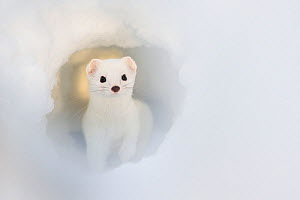 Stoat (Mustela erminea) in snow tunnel, Laponia UNESCO World Heritage Site, Swedish Lapland,   Sweden. January. Third place in Golden Turtle Photography Awards 2017 competition.  -  Erlend Haarberg
