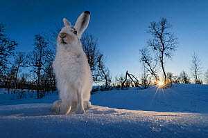 Mountain hares (Lepus timidus) in winter coat, at sunset, Vauldalen, Norway. April. Third place of the Harmony of Life Category of the Golden Turtle Photography Awards 2017.  -  Erlend Haarberg