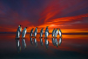King penguins (Aptenodytes patagonicus) at sunrise, Falklands. Highly honoured in the Ocean View Category of the Nature's Best Windland Smith Rice Ocean View Competition 2017 - Wim van den Heever