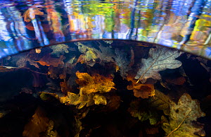 Split level view of autumn leaves underwater and tree reflections on the water surface, Levenumse beek, the Netherlands, November.  -  Theo  Bosboom
