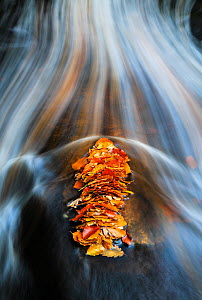 A pile of autumn Beech leaves caught behind a rock in a mountain stream La Helle, Ardennes, Belgium.  -  Theo  Bosboom