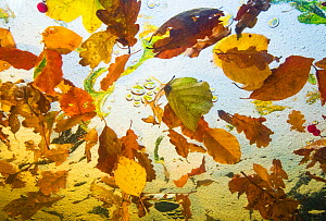 Autumn leaves from Beech, Oak and Birch trees  floating on water, taken from  underwater, Ardennes, La Hoegne, Belgium.  -  Theo  Bosboom