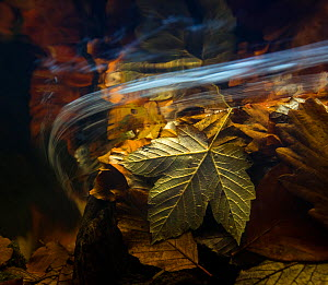 Autumn leaves seen underwater, Ardennes, La Hoegne, Belgium. - Theo  Bosboom