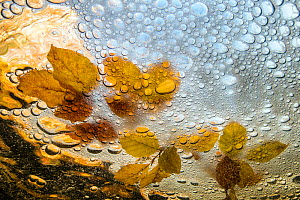 Underwater view of bubbles and Beech (Fagus sylvatica) leaves Hoegne,  Belgium.  -  Theo  Bosboom