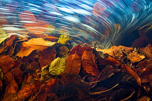 Underwater view of autumn leaves in stream current, La Hoegne, Ardennes, Belgium. - Theo  Bosboom