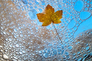 Maple leaf in autumn, viewed from underwater with bubbles and foam of mountain stream, La Hoegne, Ardennes, Belgium.  -  Theo  Bosboom