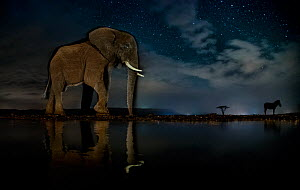 African elephant (Loxodonta africana) and Zebra (Equus quagga) at waterhole at night, Mkuze, South Africa Third place in the Nature Portfolio category of the World Press Photo Awards 2017.  -  Bence Mate