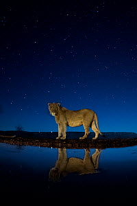 African lion (Panthera leo) at waterhole at night, Mkuze, South Africa Third place in the Nature Portfolio category of the World Press Photo Awards 2017. - Bence Mate