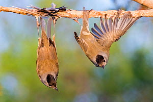 Eurasian blackcaps (Sylvia atricapilla) caught on limed stick, Cyprus. Finalist in The Wildlife Photojournalist Award: Single Image Category of the Wildlife Photographer of  the Year Awards (WPOY) Com...  -  Bence Mate