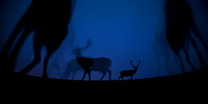 Fallow deer (Dama dama) at night, Gyulaj, Hungary  Third place in the Nature Portfolio category of the World Press Photo Awards 2017.  -  Bence Mate