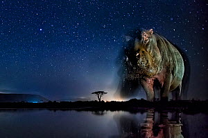 Hippopotamus (Hippopotamus amphibius) at waterhole at night, Mkuze, South Africa Third place in the Nature Portfolio category of the World Press Photo Awards 2017.  -  Bence Mate