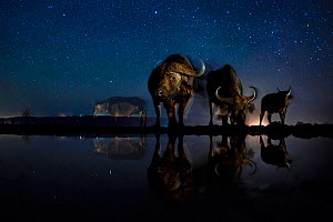 African buffalo (Syncerus caffer)  at waterhole at night, Mkuze, South Africa Third place in the Nature Portfolio category of the World Press Photo Awards 2017.  -  Bence Mate