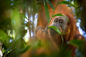 Tapanuli Orangutan (Pongo tapanuliensis) feeding on leaf, Batang Toru, North Sumatra, Indonesia. This is a newly identified species of orangutan,  limited to the Batang Toru forests in North Sumatra i... - Andrew Walmsley