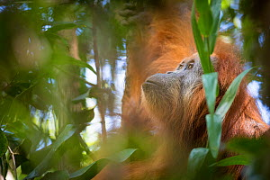 Tapanuli Orangutan (Pongo tapanuliensis) Batang Toru, North Sumatra, Indonesia. This is a newly identified species of orangutan,  limited to the Batang Toru forests in North Sumatra is with a populati... - Andrew Walmsley