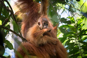 Tapanuli Orangutan (Pongo tapanuliensis) baby hanging on to mother, Batang Toru, North Sumatra, Indonesia. This is a newly identified species of orangutan, limited to the Batang Toru forests in North... - Andrew Walmsley