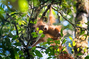 Tapanuli Orangutan (Pongo tapanuliensis) baby swinging from branch, Batang Toru, North Sumatra, Indonesia. This is a newly identified species of orangutan, limited to the Batang Toru forests in North... - Andrew Walmsley