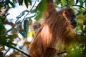 Tapanuli Orangutan (Pongo tapanuliensis) mother with baby feeding on fruit, Batang Toru, North Sumatra, Indonesia. This is a newly identified species of orangutan, limited to the Batang Toru forests i... - Andrew Walmsley