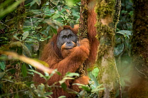 Tapanuli Orangutan (Pongo tapanuliensis) portrait of male 'Togos',  Batang Toru, North Sumatra, Indonesia. This is a newly identified species of orangutan, limited to the Batang Toru forests in North... - Andrew Walmsley