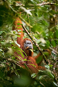 Tapanuli Orangutan (Pongo tapanuliensis) male feeding on leaf, Batang Toru, North Sumatra, Indonesia. This is a newly identified species of orangutan, limited to the Batang Toru forests in North Sumat... - Andrew Walmsley