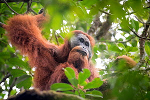 Tapanuli Orangutan (Pongo tapanuliensis) male,  Batang Toru, North Sumatra, Indonesia. This is a newly identified species of orangutan, limited to the Batang Toru forests in North Sumatra is with a po... - Andrew Walmsley