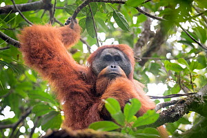 Tapanuli Orangutan (Pongo tapanuliensis) portrait of male,  Batang Toru, North Sumatra, Indonesia. This is a newly identified species of orangutan, limited to the Batang Toru forests in North Sumatra... - Andrew Walmsley