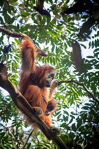 Tapanuli Orangutan (Pongo tapanuliensis) female with baby, Batang Toru, North Sumatra, Indonesia. This is a newly identified species of orangutan, limited to the Batang Toru forests in North Sumatra i... - Andrew Walmsley