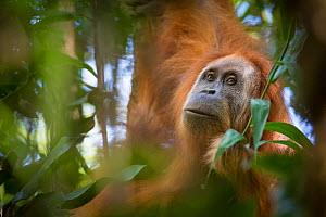 Tapanuli orangutan (Pongo tapanuliensis) portrait, Batang Toru, North Sumatra, Indonesia. This is a newly identified species of orangutan, limited to the Batang Toru forests in North Sumatra is with a...  -  Andrew Walmsley