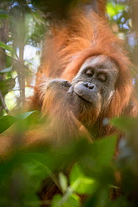 Tapanuli Orangutan (Pongo tapanuliensis) portrait, Batang Toru, North Sumatra, Indonesia. This is a newly identified species of orangutan,  limited to the Batang Toru forests in North Sumatra is with... - Andrew Walmsley