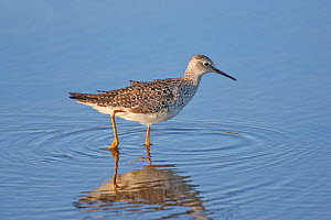 Lesser yellowlegs (Tringa flavipes) adult,  Wakadahatchee Wetlands,  Florida  -  Melvin Grey