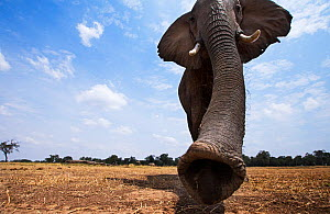 African elephant (Loxodonta africana) female matriarch approaching remote camera with curiosity   - taken with a remote camera controlled by the photographer. Maasai Mara National Reserve, Kenya. July... - Anup Shah