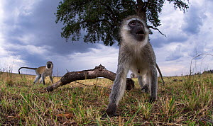 Vervet monkey (Cercopithecus aethiops) watching with curiosity. Taken with a remote camera controlled by the photographer. Maasai Mara National Reserve, Kenya. August. - Anup Shah