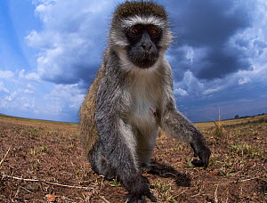 Vervet monkey (Cercopithecus aethiops) approaching remote camera with curiosity. Taken with a remote camera controlled by the photographer. Maasai Mara National Reserve, Kenya. August. - Anup Shah