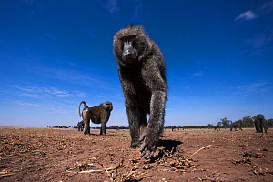 Olive baboon (Papio anubis) male approaching remote camera with curiosity  - taken with a remote camera controlled by the photographer. Maasai Mara National Reserve, Kenya. August. - Anup Shah