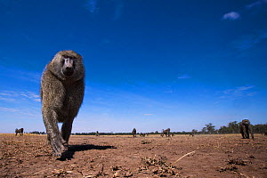 Olive baboon (Papio anubis) male approaching remote camera with curiosity, taken with a remote camera controlled by the photographer. Maasai Mara National Reserve, Kenya. August. - Anup Shah