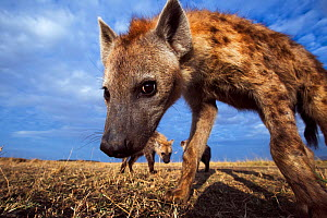 Spotted hyena (Crocuta crocuta) approaching remote camera with curiosity, taken with a remote camera controlled by the photographer. Maasai Mara National Reserve, Kenya. August. - Anup Shah