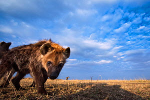 Spotted hyena (Crocuta crocuta) pup approaching remote camera with curiosity, taken with a remote camera controlled by the photographer. Maasai Mara National Reserve, Kenya. August. - Anup Shah