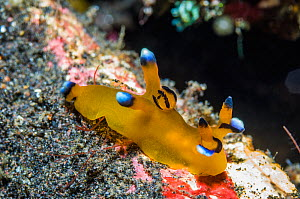 Nudibranch (Thecacera pacifica), West Papua, Indonesia. December.  -  Georgette Douwma