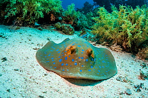 Bluespotted ribbontail ray (Taeniura lymna), Red Sea, Egypt. January. - Georgette Douwma