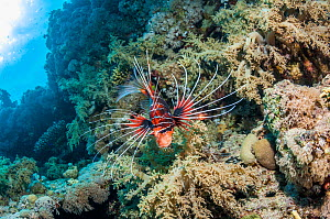 Clearfin / Radial lionfish (Pterois radiata) Egypt. Red Sea, January.  -  Georgette Douwma