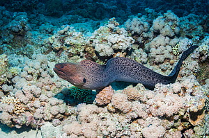 Giant moray eel (Gymnothorax javaniucus) hunting over coral reef,  Red Sea, Egypt. January.  -  Georgette Douwma