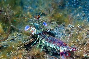 Pink-eared mantis shrimp (Odontodactylus latirostris), Lembeh Strait, North Sulawesi, Indonesia. December.  -  Georgette Douwma