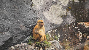 Arunachal macaque (Macaca Munzala) feeding, sitting on a rock ledge, Arunachal Pradesh, India. - Sandesh  Kadur