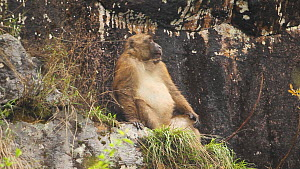 Arunachal macaque (Macaca Munzala) sitting on a rock ledge, Arunachal Pradesh, India. - Sandesh  Kadur