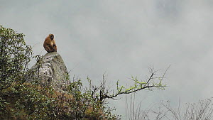 Wide angle shot of an Arunachal macaque (Macaca Munzala) sitting on a rock, Arunachal Pradesh, India. - Sandesh  Kadur