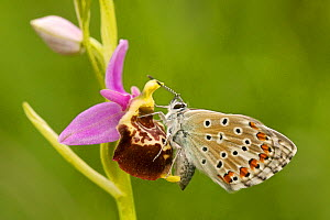 Common blue butterfly (Polyommatus icarus) on the Bee orchid (Ophrys demangei) Drome, France, May. - Lorraine Bennery