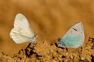 Green-underside blue butterfly (Glaucopsyche alexis) and Wood white butterfly (Leptidea sinapis) puddling, Grands Causses Regional Natural Park, France, May.  -  Lorraine Bennery